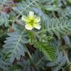 Rostlina Tribulus Terrestris, která je známá jako aktivátor zvýšení hladiny testosteronu v těle až o 30%. Přirozeně roste v Bulharsku. Autor fota: ©Forest & Kim Starr.