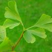 Gingo biloba, neboli Jinan dvoulaločný příznivě působí na prokrvování zejména dolních a horních končetin a mozku. Roste vzácně i u nás.