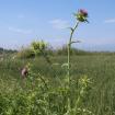 Silybum marianum neboli Ostropestřec mariánský je známý bodlák a roste v létě všude kolem. Exktrakt z něho je obsažen v Eregmě. Zdroj obrázku Wikimedia Commons.