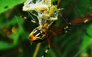 Jedovatý pavouk vČR