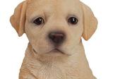 Výcvik štěněte labradora