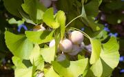 Zpracování ořechů stromu Ginkgo biloba