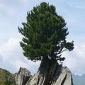 Pinus cembra