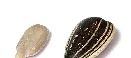Slunečnicová semínka a jejich vliv na člověka